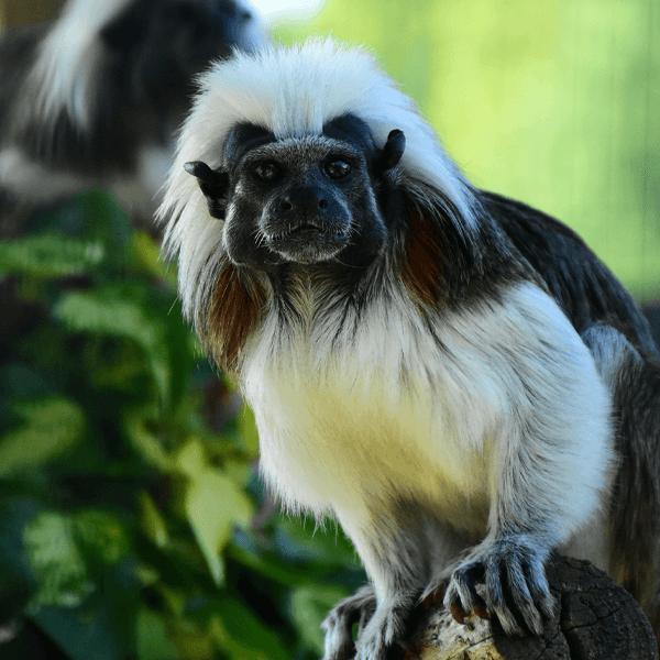 Opica Beloglavček