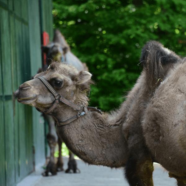 Dvogrba kamela