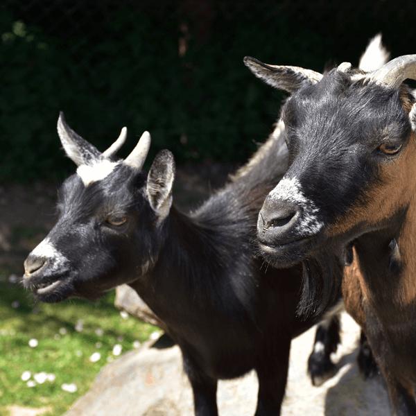 Afriška mini koza