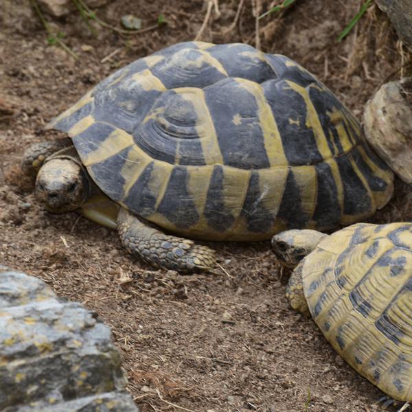Grška želva