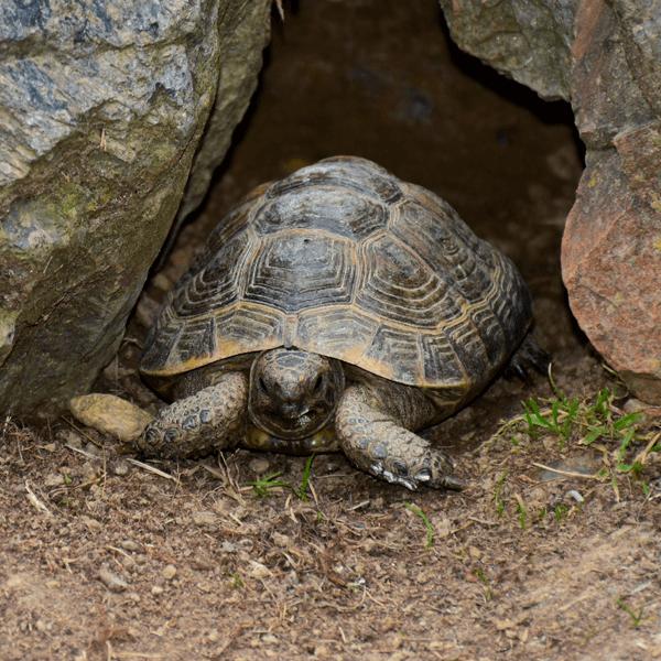 Mavrska želva